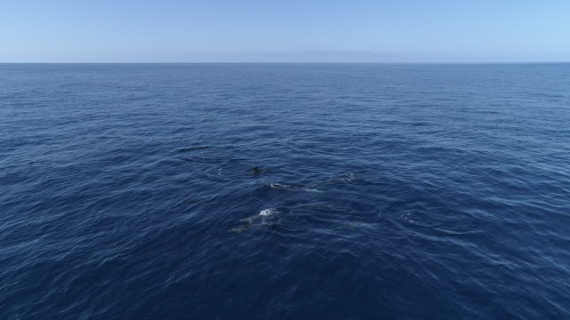 loop-able video of dolphins swimming in calm ocean - cetacea video stock e b–roll