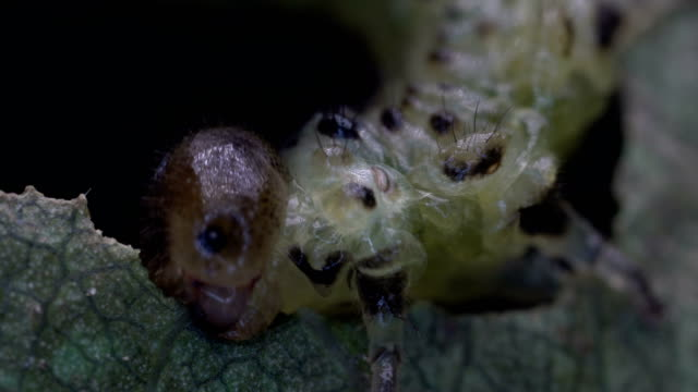 looper worm under light microscopy
