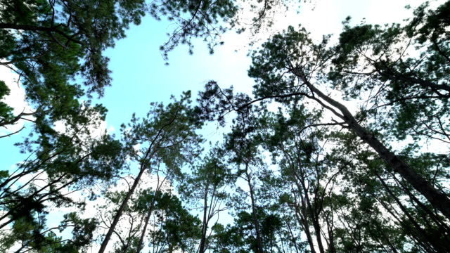 4k loop:shot of looking up at trees,pine forest - douglas fir stock videos and b-roll footage