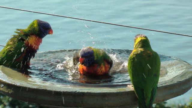 vídeos y material grabado en eventos de stock de lorikeets - baño para pájaros