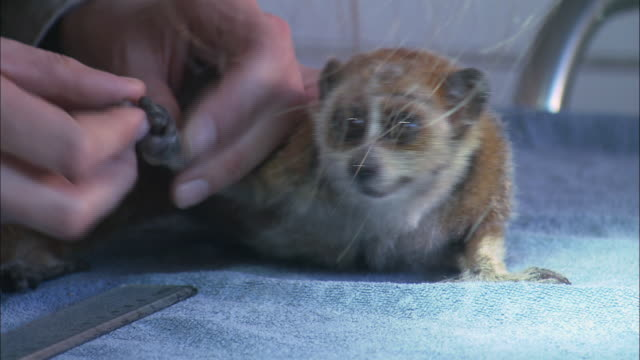vidéos et rushes de zo a loris' hands are measured while on a medical table at the endangered primates rescue center / cuc phuong national park, vietnam - sauvetage