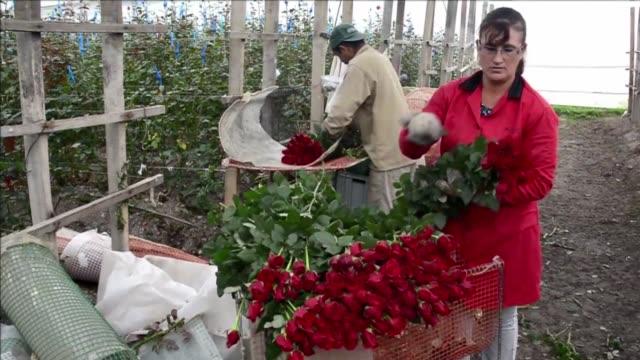 vídeos de stock e filmes b-roll de los agricultores que se dedican a la floricultura corren contra reloj en colombia para cumplir con los pedidos para san valentin - reloj