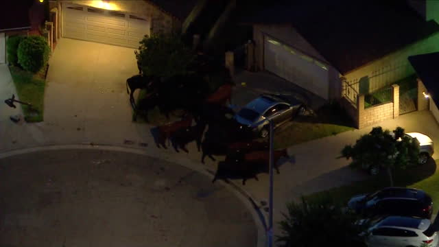 los angeles, ca, u.s. - herd of cattle that escaped slaughterhouse in pico rivera, on tuesday, june 22, 2021. - aircraft point of view stock videos & royalty-free footage