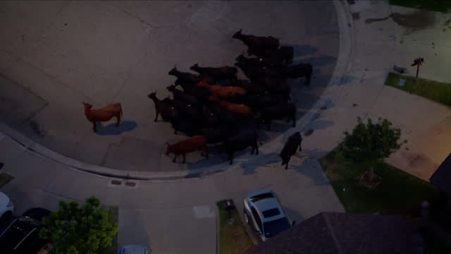 los angeles, ca, u.s. - herd of cows that escaped slaughterhouse corralled in cul-de-sac in pico rivera, on tuesday, june 22, 2021. - aircraft point of view stock videos & royalty-free footage