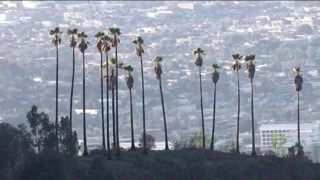 stockvideo's en b-roll-footage met los angeles in the backdrop of a row of palm trees - hollywood californië