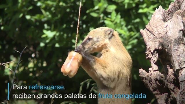 los animales tambien sufren la ola de calor que azota europa: en el zoologico de roma les prepararon paletas de fruta helada para ayudarlos a... - fruta stock videos & royalty-free footage
