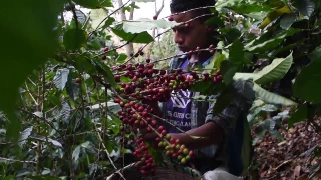 los bajos precios del cafe han llevado a los productores de cafe de honduras a la bancarrota una situacion que ha empeorado con las multiples... - animal behaviour stock videos & royalty-free footage