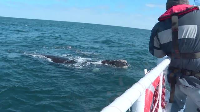 vídeos de stock, filmes e b-roll de los cientificos y turistas unen fuerzas para disfrutar y aprender en el avistamiento anual de ballenas francas que pasan por la patagonia argentina - fuerzas de la naturaleza
