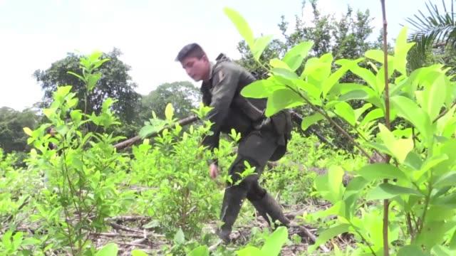 los erradicadores de coca en narino el departamento con mas cultivos ilicitos de colombia estan en un círculo vicioso: ni bien han terminado su labor... - círculo stock videos & royalty-free footage