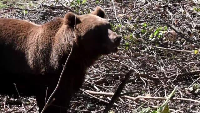 Los osos pardos de Croacia que se quedan huerfanos maltratados o abandonados son rescatados por un refugio en Kuterevo que intenta reproducir sus...
