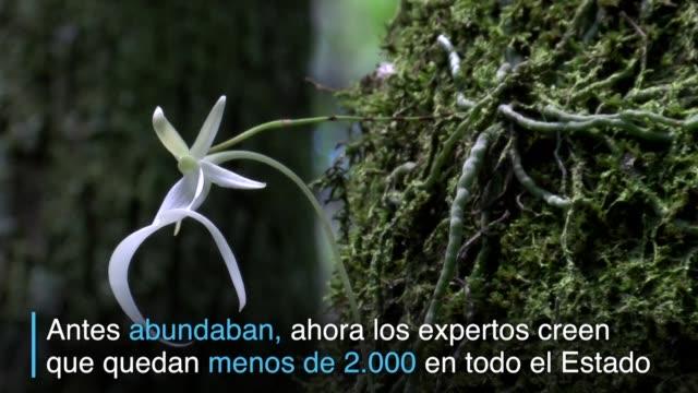 Los pantanos de Florida esconden una rara flor en peligro de extincion la orquidea fantasma