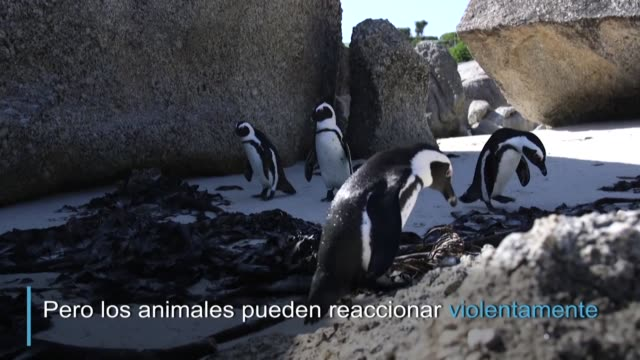 vídeos de stock e filmes b-roll de los pinguinos africanos atraviesan una fase de muda durante diciembre y enero que los vuelve especialmente vulnerables mientras pierden su plumaje... - anterior