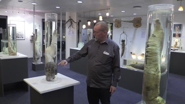 los turistas que visitan el museo del pene en reikiavik deambulan entre 286 especimenes biologicos y 350 obras de arte que representan el miembro... - penis stock videos & royalty-free footage