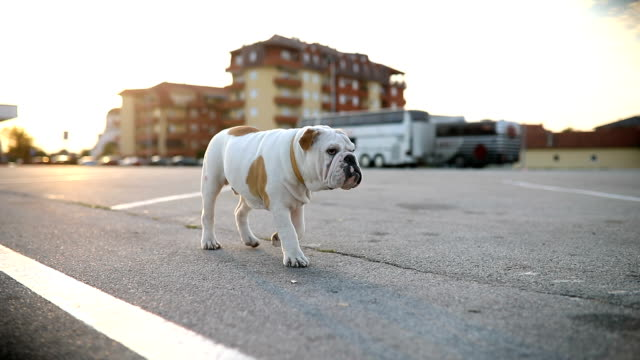 lost bulldog puppy on parking lot - isolamento video stock e b–roll