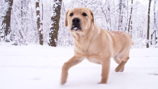 SLO MO perso cucciolo In esecuzione nella neve
