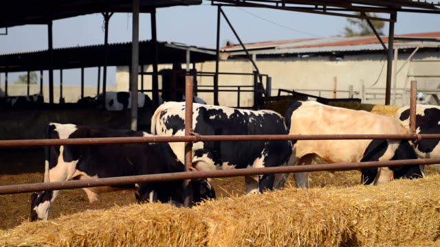 lot of holstein cow eating in a milk production farm. - foraggiamento video stock e b–roll