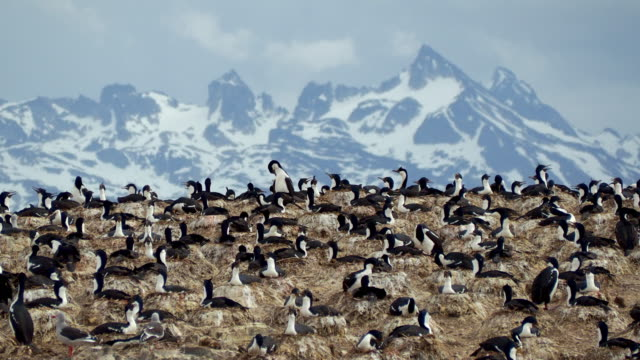 a lot of imperial shags near ushuaia, patagonia - sea bird stock videos & royalty-free footage