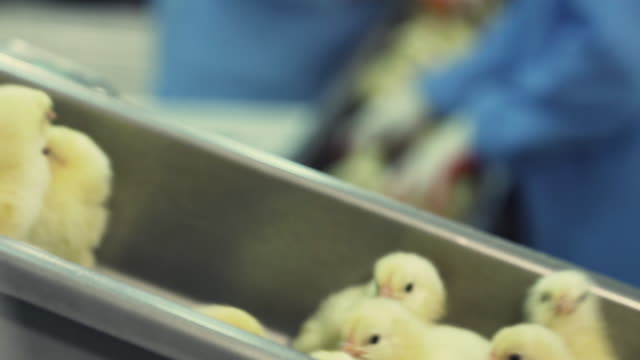 lot of newborn chicks moving on poultry conveyor. agriculture industry.  sorting chicks in factory. - chicken bird stock videos & royalty-free footage