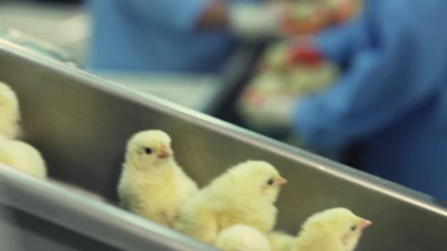 家禽コンベアで動く新生児の雛の多く。農業産業。 工場で雛を選別。 - 食品工場点の映像素材/bロール