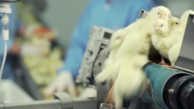 vidéos et rushes de beaucoup de poussins nouveau-nés se déplaçant sur le convoyeur de volaille. industrie agricole.  trier les poussins en usine. - organisation