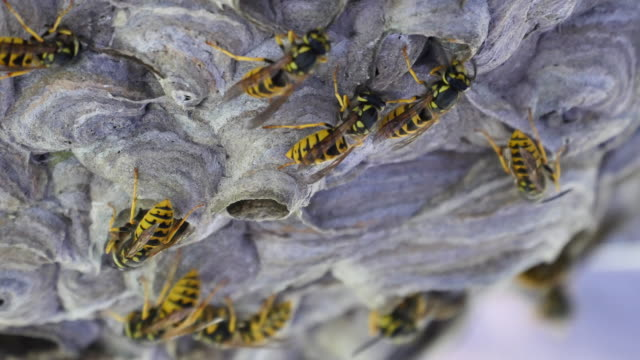 A lot of wasps at nest building close-up