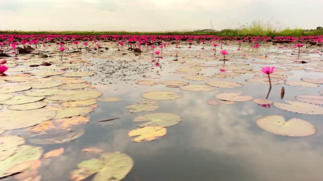 lotos flower lake - lotus water lily stock videos and b-roll footage