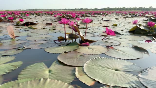 lotos flower lake - lily stock videos & royalty-free footage
