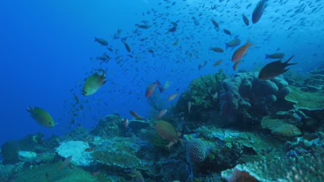 lots of anthias fish swimming in coral reef, komodo - anthias fish stock videos & royalty-free footage