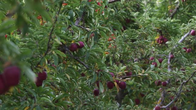 lots of apple trees pan r - wiese video stock e b–roll