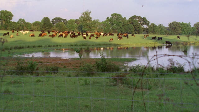 MS Lots of cattle grazing in pasture with small pond