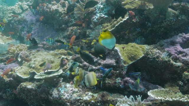 viele korallen fische füttern seetang in koralle riff (4k - riff stock-videos und b-roll-filmmaterial