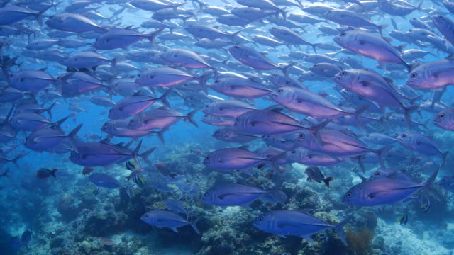 lots of jack trevally fish are close to camera (4k) - jack fish stock videos and b-roll footage