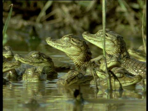 vídeos de stock e filmes b-roll de lots of young spectacled caiman looking alert, venezuela. - vida de bebé