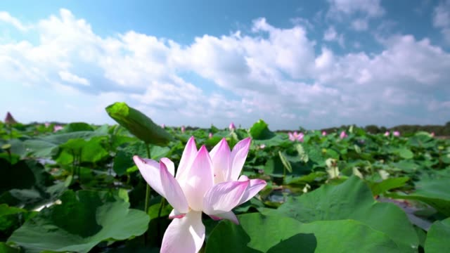 lotus blooming in summer morning - tropical flower stock videos & royalty-free footage