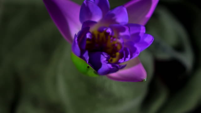 lotus blühenden timelapse 4k - tropical climate stock-videos und b-roll-filmmaterial