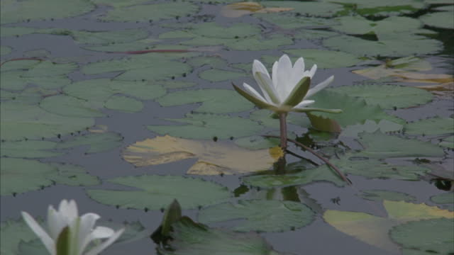 Lotus blossoms float on the surface of a beautiful lake.