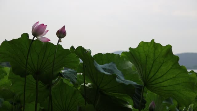 lotus field in wind on a pond - sacred lotus stock videos and b-roll footage