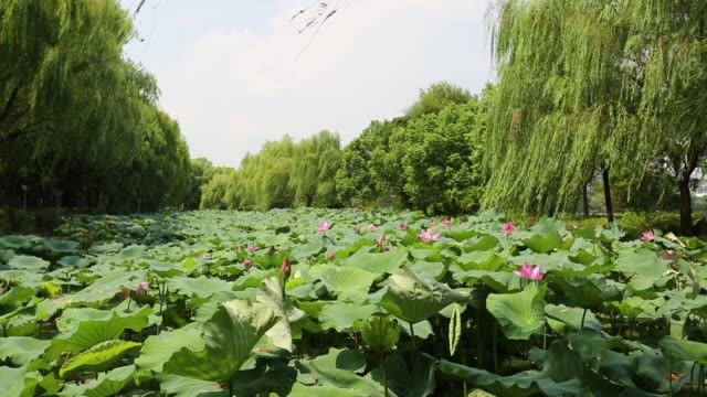 lotus field in wind on the south lake,jiaxing,zhejiang,china - sacred lotus stock videos and b-roll footage
