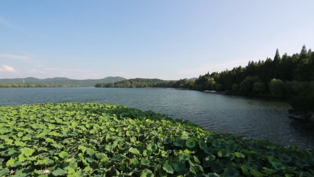 lotus field on the west lake against blue sky,hangzhou,china - sacred lotus stock videos and b-roll footage