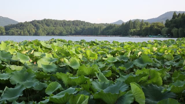 lotus field on the west lake,hangzhou,china - sacred lotus stock videos and b-roll footage