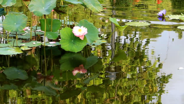 lotus flower against the wind in pond - arm band stock videos & royalty-free footage