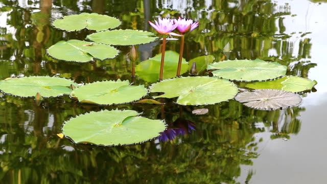 lotus blume gegen den wind in teich - schwimmflügel stock-videos und b-roll-filmmaterial