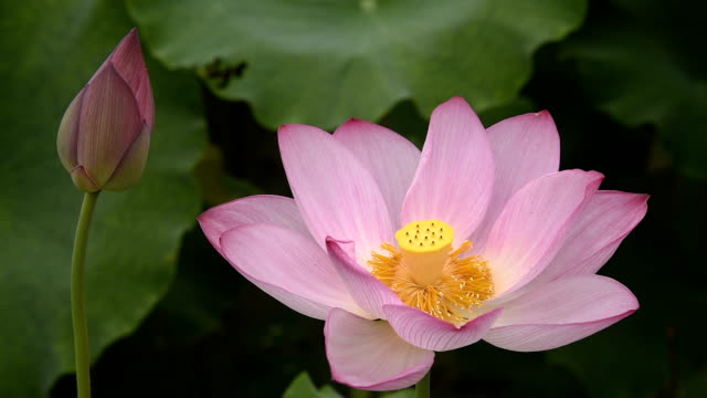vídeos de stock e filmes b-roll de lotus flower and bud in the pond hd video - estame