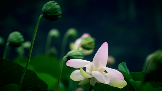 lotus flower and lotus flower plants - china east asia stock videos & royalty-free footage