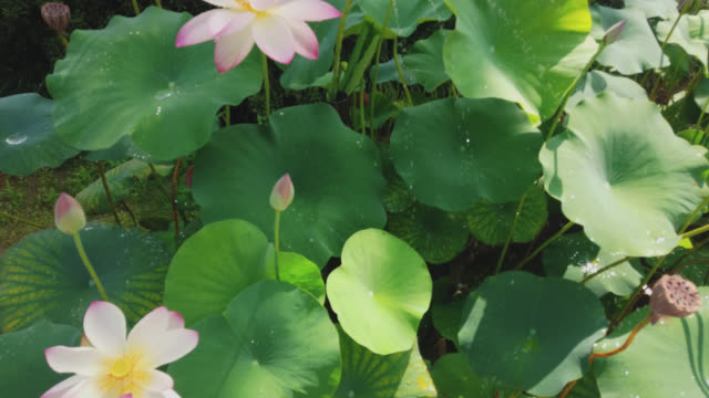 lotus flower and plants - onomichi hiroshima stock videos and b-roll footage