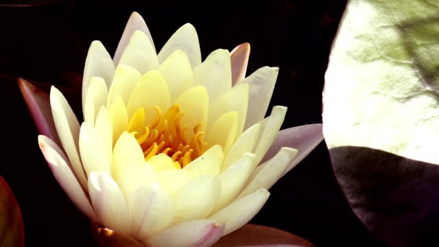 Lotus flower blooming and sun light in morning time lapse stock lotus flower blooming and sun light in morning time lapse stock footage video getty images mightylinksfo