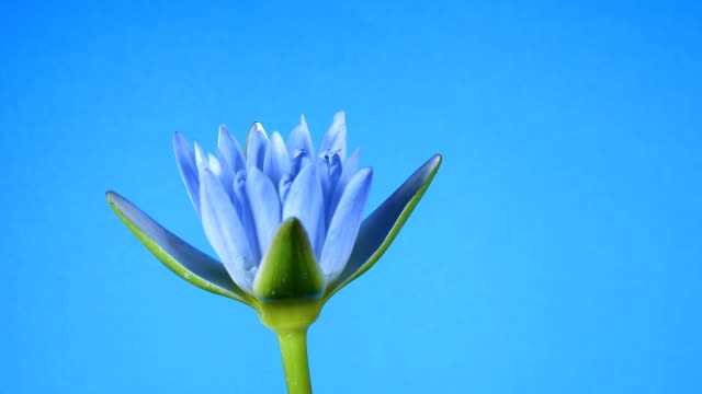Lotus flower blooming on blue background.