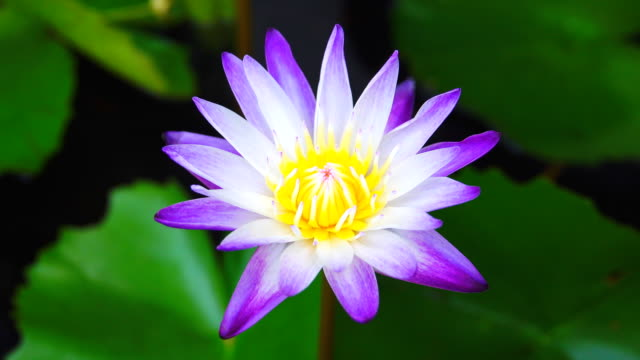 4k: lotus flower blooming - aquatic organism stock videos & royalty-free footage