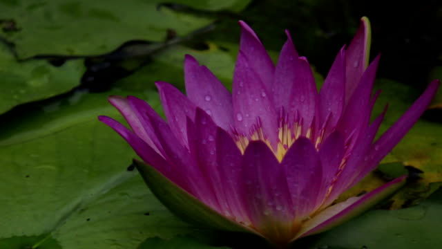 Lotus flower videos and b roll footage getty images lotus flower blooming with raindrop time lapse mightylinksfo