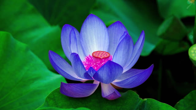 lotus flower changing colors / chungcheongnam-do, south korea - changing color stock videos & royalty-free footage